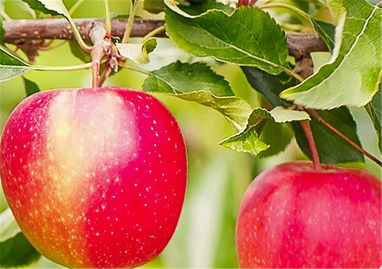 Nu kan boka tid för äppelmustning